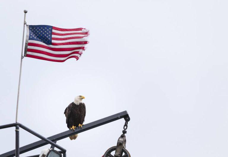 A águia é o símbolo nacional dos EUA e sua ameaçante presença se tornou um pesadelo para os moradores de Dutch Harbor, no Alasca.