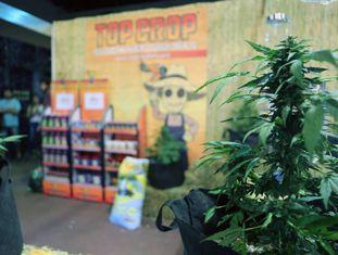 Uma planta de maconha em um estande da terceira edição da Expocannabis, em Montevidéu (Uruguai) em dezembro de 2016.