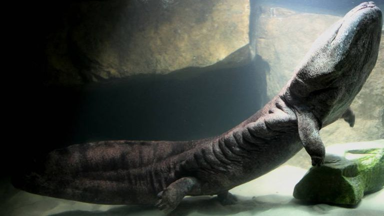 Exemplar da salamandra-gigante-da-China no zoológico de Londres. Se sua captura não cessar, peritos avaliam que somente a criação fora de seu entorno original garantirá a sobrevivência da espécie.