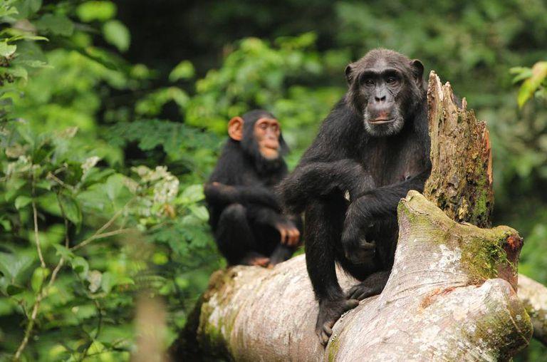 O conhecimento adquirido e transmitido pelos chimpanzés está em risco.
