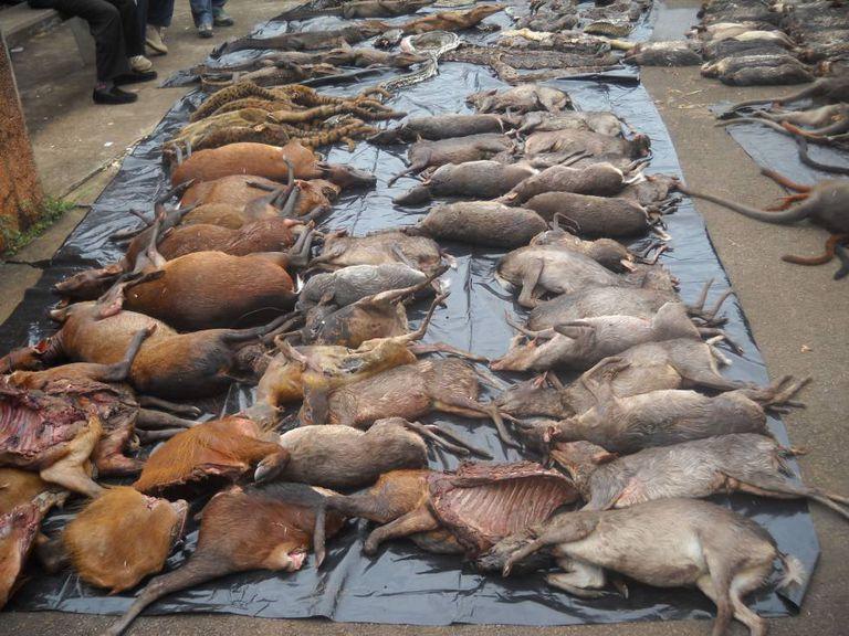 Exemplares confiscados durante uma operação contra a caça ilegal em Camarões.