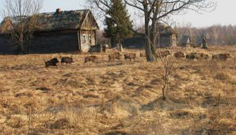 Javalis em um vilarejo abandonado na Zona de Exclusão de Chernobyl