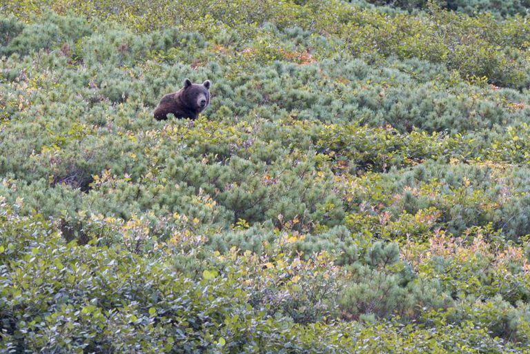 Um urso na região russa de Kamtchatka.