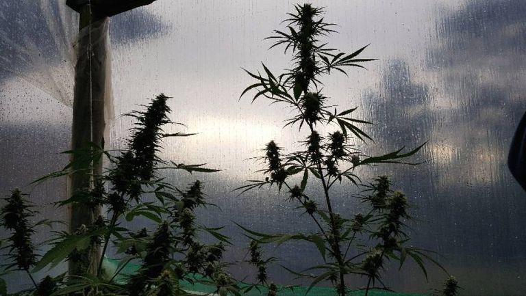 Plantas de Cannabis do tipo sativa em estufa de cultivo para uso medicinal.