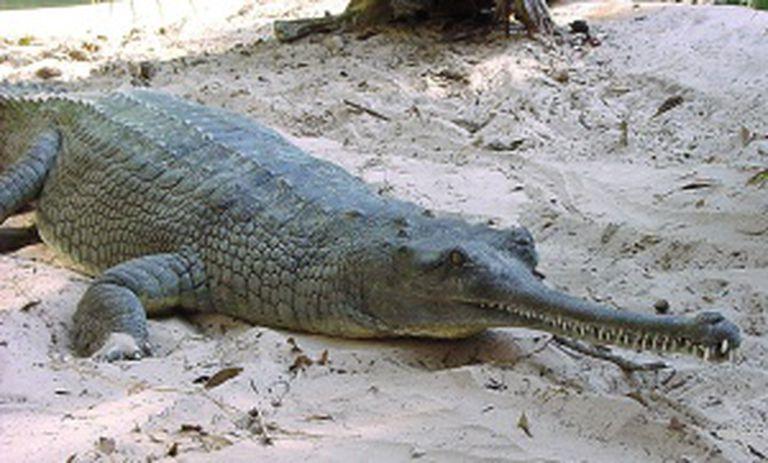 Uma espécie de crocodilo indiano.