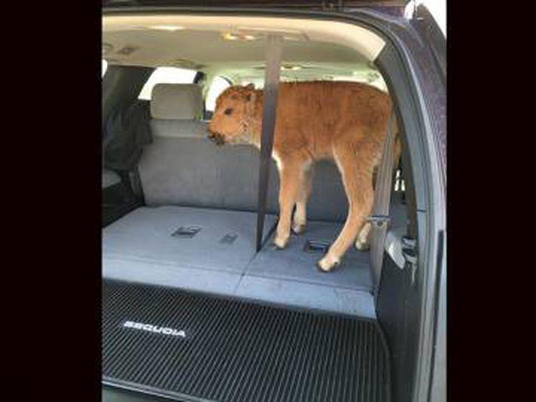 Turistas recolheram um bisão em Yellowstone achando que ele estava passando frio. O animal teve de ser sacrificado, pois foi rejeitado por sua manada.