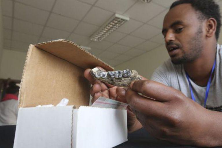 Um conservador estuda a mandíbula nos laboratórios do Museu Nacional de Etiópia.