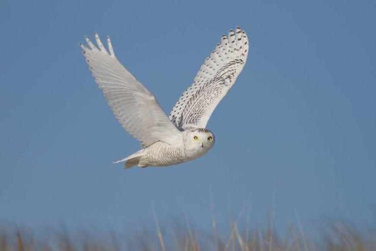A coruja-das-neves é, junto a outras aves de rapina, das espécies que recuperaram população.