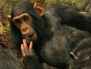 Um chimpanzé usa musgo para beber água extraída de um poço.