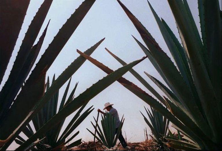 Plantação de agave em Oaxaca (México).