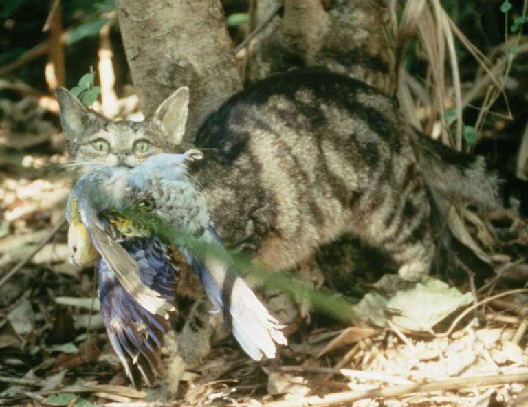 Gato selvagem ataca uma ave na Austrália.