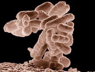 A bactéria E. coli colabora nos processos digestivos.