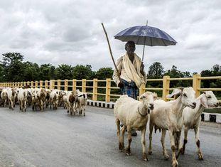 Cabras cruzando o rio Tina Au, no Nepal, um dos países mais afetados pela mudança climática.